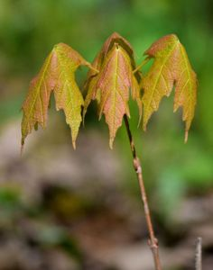 https://flic.kr/p/FWFWR3 | P2016_5042387_1_Leaves_1 | 4 MAY 2016 New leaves in Nerstrand State Park.