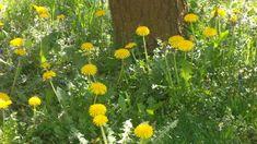 Pissenlits : le bonheur est toujours dans le pré... Plants, Chic, Dandelion Leaves, Flowers, Syrup Recipes, Sweet Recipes, Shabby Chic, Elegant, Plant