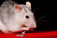 They say that the best way to get rid of rats is to use pesticides and chemicals to poison and kill them. These methods are not only very effective in getting rid of these pests, but they're also very effective in controlling their population.