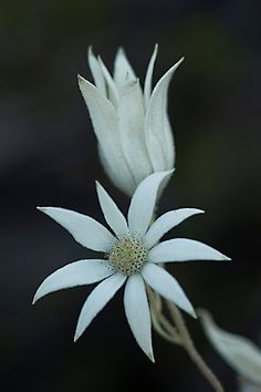 ~~Sydney Flannel Flower (Actinotus helianthi) ~ native to Australia by Ben Shaw~~