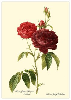 Rose botanical print.