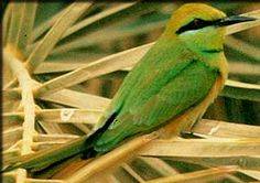 The little green-bee eater native to Egypt