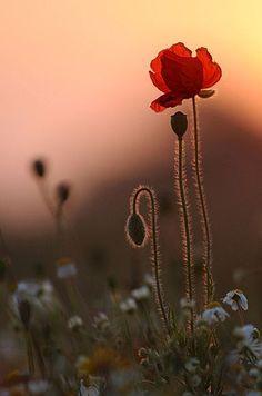 poppy at sunset...