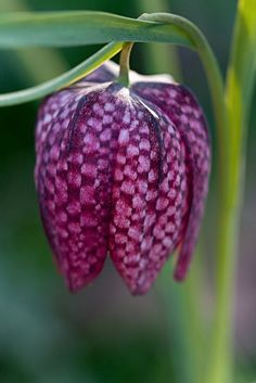 Checkerboard lily (Checkered Lily bears striking, boxy, pendulous maroon blooms with paler purple spotting in a checkerboard pattern. Also known as Snake's Head Fritillary, Guinea Hen Flower (Fritillaria meleagris, Liliaceae Family)) Unusual Flowers, Unusual Plants, Amazing Flowers, My Flower, Purple Flowers, Flower Power, Beautiful Flowers, Purple Lily, Tropical Flowers