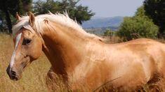 Napoleon - Palomino part Saddlebred Stallion | South Africa | Paula van der Riet | Flickr