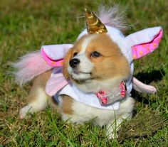 """Check out our site for more information on """"corgi puppies:. It is actually an outstanding place to find out more. Animals And Pets, Baby Animals, Funny Animals, Cute Animals, Animal Memes, Pembroke Welsh Corgi Puppies, Corgi Dog, Corgi Meme, Corgi Funny"""