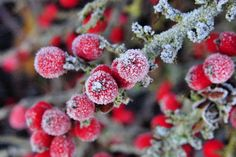 Rock cotoneaster - Lose the Lawn! - Southernliving. (Cotoneaster horizontalis). Grows 2-3 feet tall and up to 15 feet wide. White flowers in spring and red berries and leaves in fall. Deciduous.