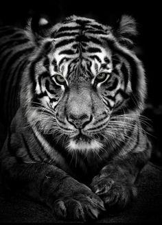 Tigre noire et blanc