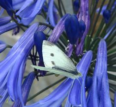 Cabbage white butterfly on Agapanthus, August in the cottage gardens.