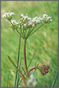 Irish Wildflowers - Pignut