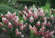 'Pinky Winky' Hardy Hydrangea    -Perennial    -Sun/Partial sun     -6-8' tall, 6'8' wide (need 10 feet total space)    -summer blooms- open white, change to pink    prune 2/3rds of the way to the ground late winter/early spring