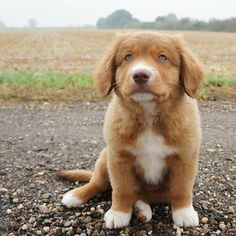 How adorable is this? Puppies are so cute! Toller puppies are maybe the cutest of them all! He stole our heart from day one. Retriever Puppy, Dogs Golden Retriever, Puppy Care, Pet Puppy, Cute Funny Animals, Funny Animal Pictures, Toller Dog, Cute Puppies, Cute Dogs