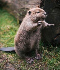 Beaver > Point Defiance Zoo & Aquarium