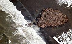米アラスカ州ポイントレイ近くの海岸に上陸したセイウチの群れ=9月23日、米海洋大気局(NOAA)提供(AFP=時事) ▼2Oct2014時事通信 3万5千頭のセイウチ上陸=温暖化で海氷解ける-米アラスカ州 http://www.jiji.com/jc/zc?k=201410/2014100200372