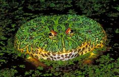 The ornate horned frog can grow up to six inches long and inhabits Uruguay, Brazil, and northern Argentina. While it may look like a lifeless pincushion, it's quick to lunge when lizards, small rodents, birds, or other frogs blunder by
