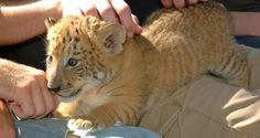 Liger Cubs have high mortality