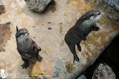 Who said otters can't jump? - October 2, 2015