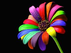 We are sharing a unique and extremely beautiful collection of rainbow wallpaper to celebrate this day with beautiful rainbow color Rainbow Flowers, Colorful Flowers, Rainbow Colors, Beautiful Flowers, Taste The Rainbow, Over The Rainbow, Rainbow Wallpaper, Flower Wallpaper, Hd Wallpaper