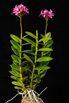 Orchid: Epidendrum 'Usubeni' - Flickr - Photo Sharing!