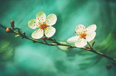 An original photo of two spring cherry blossoms in sunlight against a swirling tiffany blue and green background by Lynn Langmade. This photo is perfect spring decor or bedroom wall decor for rooms with white and blue or featuring nature themes.  #flower photography #white #cherry blossom #flowers #white flowers #blue #tiffany blue #blue and white wall decor #lynnlangmade #nature  #nature photography