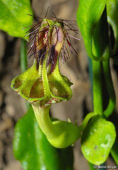 Ceropegia denticulata flower by Martin_Heigan, via Flickr