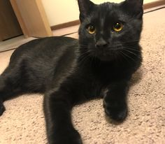 "Found this cute little guy outside on my way to my boyfriend's apartment. I instantly fell in love with his gorgeous eyes and friendly personality. But a few days later we found some ""missing cat"" flyers. We called the owner and returned him to his home today. He was a really sweet kitty.  http://ift.tt/2mK3S8u"