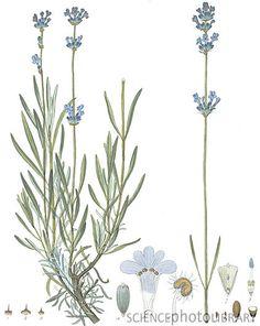 Lavender, historical artwork