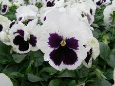 Beifiur - Produtos - Flores Outono / Inverno - Amor Perfeito Gigante