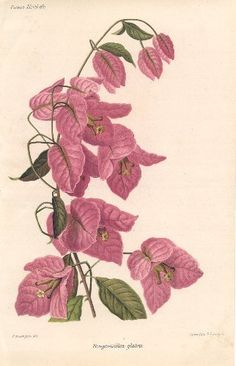 BOUGAINVILLEA by Revue Horticol - Botanical Prints | Painting 1800s