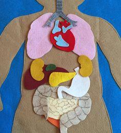 HECHO A LA MEDIDA  Descubre que el interior del cuerpo humano con este fieltro anatomía Junta establecer.  Explorar diferentes órganos y cómo encajan entre sí para crear sistemas del órgano.  Este conjunto de fieltro será una gran adición a sus otros sistemas del aula.  Una divertida manera de enseñar a los niños pequeños acerca de la anatomía humana!  GRANDE, perfecto para un grupo de niños.  Hecho en una casa pet fumar.  Gracias por mirar mis artículos y espero que les guste de ellos tanto…