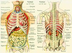 1912 Corps Humain Anatomie Torse Visceres Abdomen Planche originale Larousse  decor vintage 105 ANS D'AGE