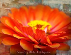 11x14 Photograph: Bright Orange Zinnia Flower Close Up