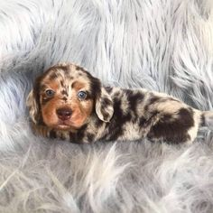 Stewie the dapple dachshund 😍 - Hunde - tierbabys Cute Little Puppies, Cute Dogs And Puppies, Cute Little Animals, Baby Dogs, Cute Funny Animals, Pet Dogs, Puppies Tips, Dachshund Breed, Dachshund Love