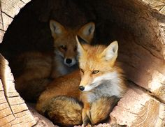 Fox pups are adorable, and we see them all the time here in Northern Maine!  :-)  What cuties!!!