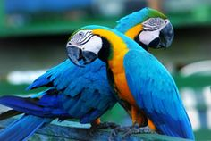 Toucans are native to Atiau in Brazil. What brilliant colors!!