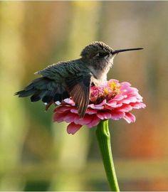 Hummingbird Tattoo Watercolor, Hummingbird Sketch, Hummingbird Wallpaper, Hummingbird Illustration, Bee Hummingbird, Hummingbird Photos, Little Birds, Love Birds, Beautiful Birds