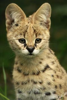 An adorable Serval Cub . . . unfortunately, it is extinct in the Cape Province in South Africa. North of the Sahara, it occurs in only Morocco and Algeria, but has now possibly disappeared from Algeria and the subspecies from this region (L. s. constantina) is considered endangered under US-ESA. #endangered #species