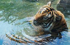 Happy International Tiger Day!