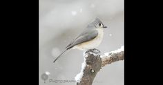 Tufted Titmouse in the snow...