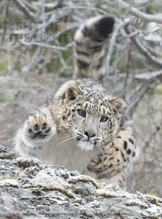 Snow leopard by Charles Glatzer on 500px