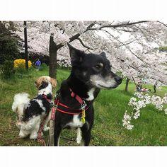 明日はお昼から☀️マーク 笑顔のカメラ目線の(←ここ大事)愛犬と桜が撮りたいな(←もうだいぶ散ってるだろうけど) #桜#ソメイヨシノ#愛犬#元保護犬#黒犬#シーズーミックス#マルシーズー#福岡犬民#日本#福岡#ig福岡県人会 #いつもの場所#スマホ写真部#スマホ撮り#お写んぽ#愛犬と散歩#公園 #dogstagram#japan#fukuoka#family#Shihtzumix#Maltesemix#flowersofinstagram #flowerstagram#sakura#cherryblossom #landscape_lovers#walk