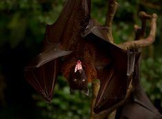 """--- /_❢ₒ❢_/--------PIPISTRELLI------------//__///--------------BATS---------------------""""""""""""-----------by-ⓛⓤⓐⓝⓐ--------: Giant Flying Fox Bat byNelly B."""