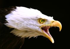 Bald Eagle calling. (A Bald Eagle calling with mouth open)