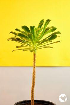 Inspiración Natural 💚 Nᴀᴛᴜʀᴀ ᴠɪᴛᴀᴇ ᴍᴀɢɪsᴛʀᴀ Aeonium Arboreum, Suculenta con forma de arbolito 🌲 Plant Leaves, Herbs, Nature, Plants, Succulents, Naturaleza, Herb, Plant, Nature Illustration