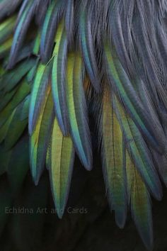 Iridescent Feathers, Modern Photography, Contemporary Blue Green Home Decor, Feather Wall Art