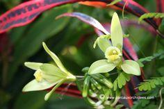 Notylia sylvestris