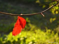 Sembra una goccia di sangue che non se ne vuole andare... l'ultima, poi davvero l'albero sarà spoglio e sarà inverno.