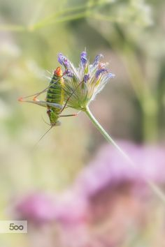 Photograph Long-horned grasshopper by Jivko Nakev on 500px