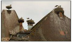 Cigognes par SCZ, Alsace