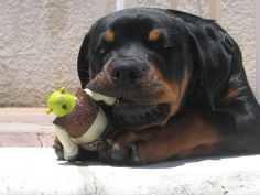 We offer European and German Rottweilers and Rottweiler puppies bred for correct conformation, superior quality, working ability and sound temperaments. We offer import Rottweiler puppies and stud service Rottweiler Breeders, Cute Puppies, Cute Dogs, Dogs And Puppies, Doggies, Chihuahua Dogs, Big Dogs, Most Beautiful Dogs, Frases